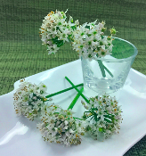 Flower Onion Blossom 50 Ct