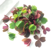 Meadow Sorrel Mix