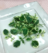 Petite Watercress White Angel™ 100 Count